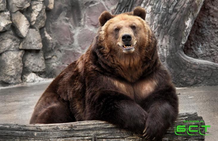 Медведь откусил руку посетителю кафе под Шелеховым