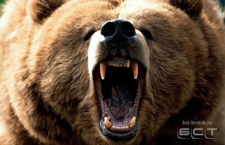 Медведь напал нашкольника вИркутской области